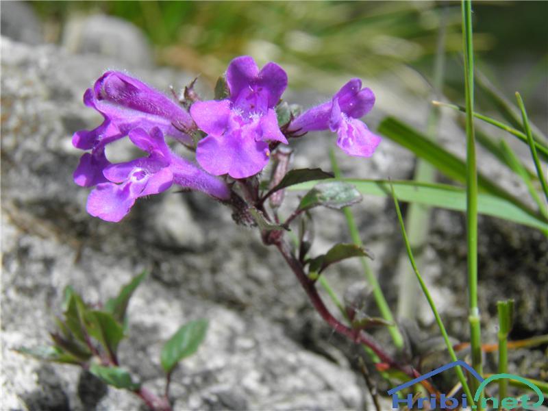 Alpski šetrajnik ali alpski čober (Calamantha alpina) - PictureAlpski šetrajnik ali alpski čober (Calamantha alpina), foto Otiv.
