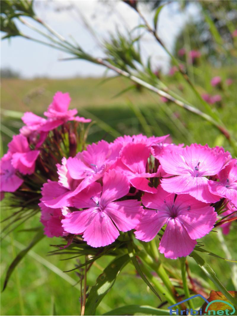 Navadni klinček (Dianthus carthusianorum) - PictureNavadni klinček (Dianthus carthusianorum), foto Otiv.