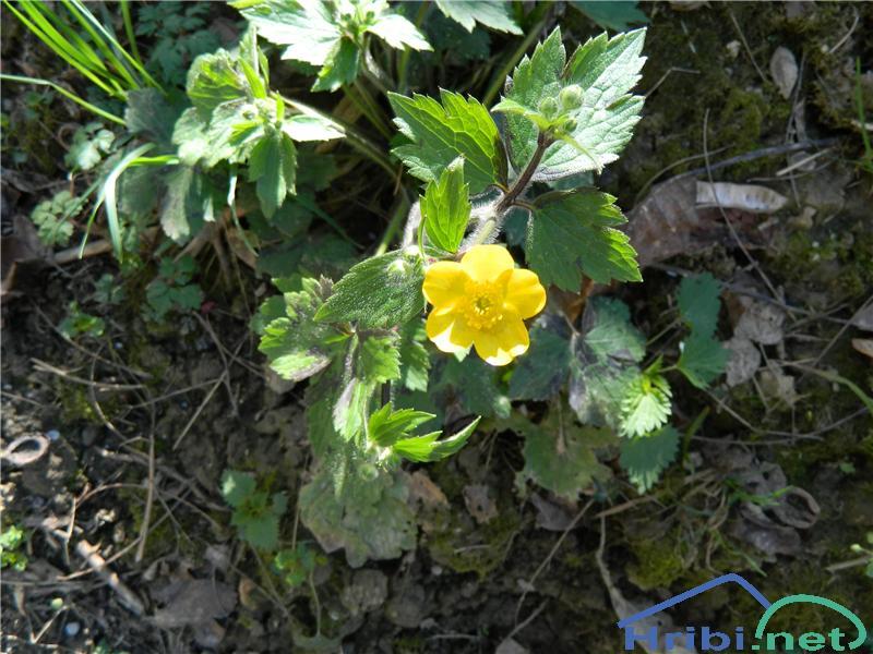 Kosmata zlatica (Ranunculus lanuginosus) - SlikaKosmata zlatica (Ranunculus lanuginosus), foto Apolonija.