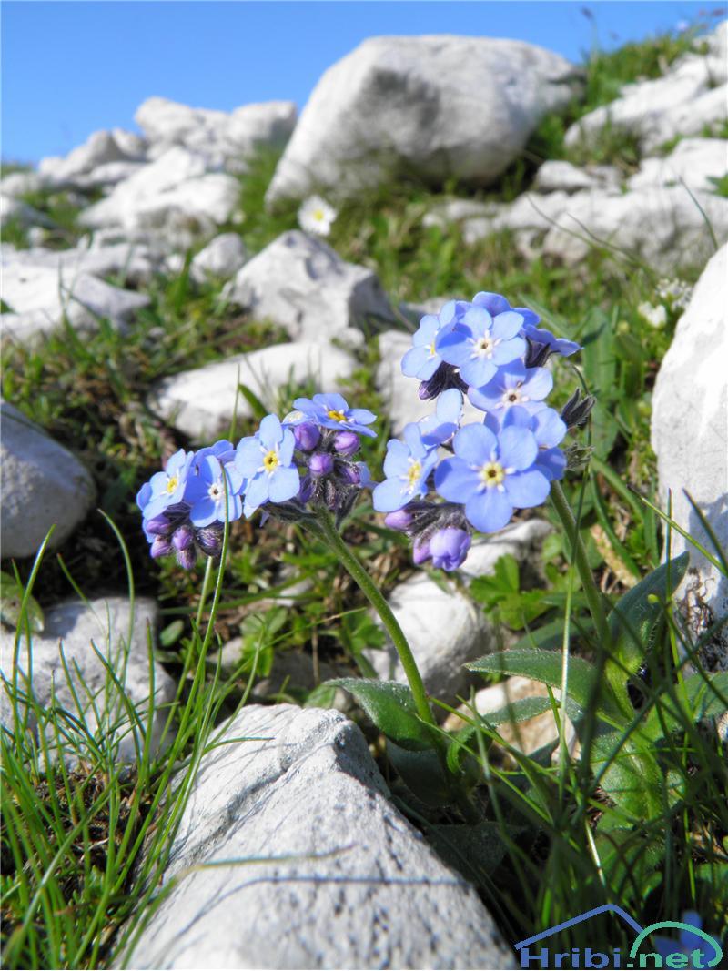 Planinska spominčica (Myosotis alpestris) - SlikaPlaninska spominčica (Myosotis alpestris), foto Otiv.