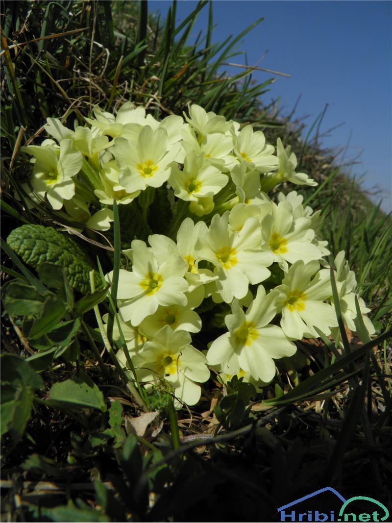 Navadni jeglič ali trobentica (Primula vulgaris) - SlikaTrobentica (Primula vulgaris), foto Otiv.