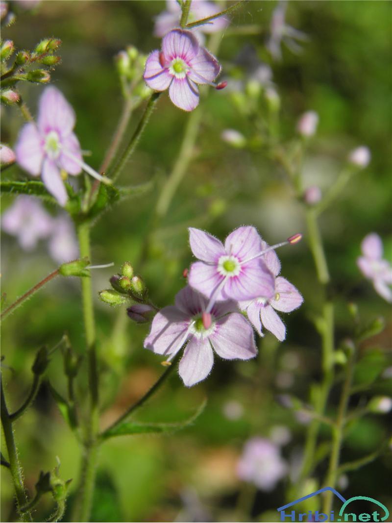 Koprivolistni jetičnik (Veronica latifolia) - PictureKoprivolistni jetičnik (Veronica latifolia L.), foto Otiv.