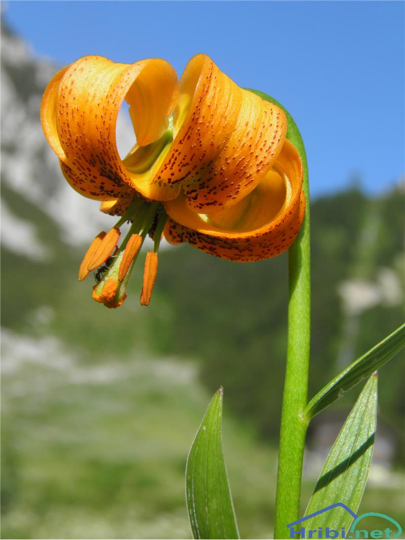 Zlato jabolko (Lilium carniolicum) - SlikaZlato jabolko (Lilium carniolicum), foto Otiv.