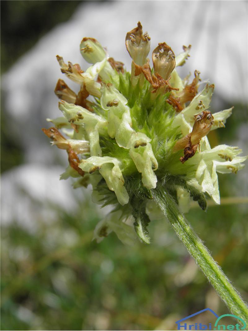 Jacquinov čistec (Betonica alopecuros) - PictureJacquinov čistec (Betonica alopecuros), foto Otiv.