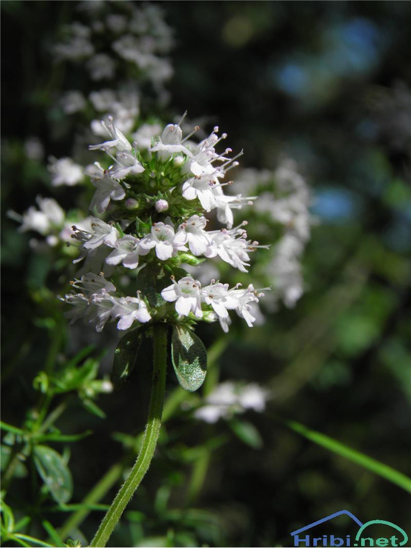 Divji timijan ali materina dušica (Thymus serpyllum) - SlikaDivji timijan ali materina dušica (Thymus serpyllum), foto Otiv.
