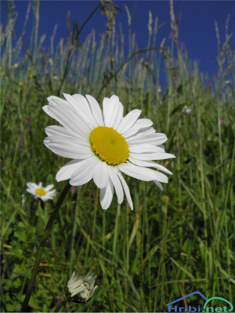 Navadna ivanjščica (Leucanthemum ircutianum) - PictureNavadna ivanjščica (Leucanthemum ircutianum), foto Otiv.
