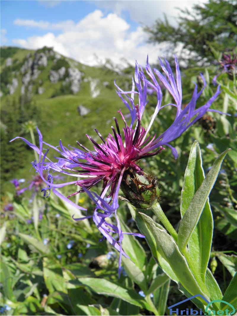 Gorski glavinec (Centaurea montana) - SlikaGorski glavinec (Centaurea montana), foto Otiv.