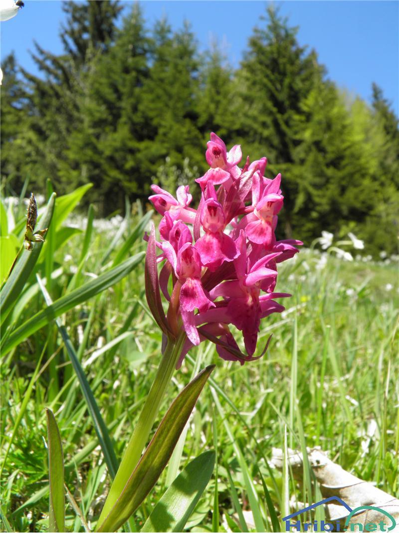 Navadna kukavica (Orchis morio) - PictureNavadna kukavica (Orchis morio), foto Otiv.