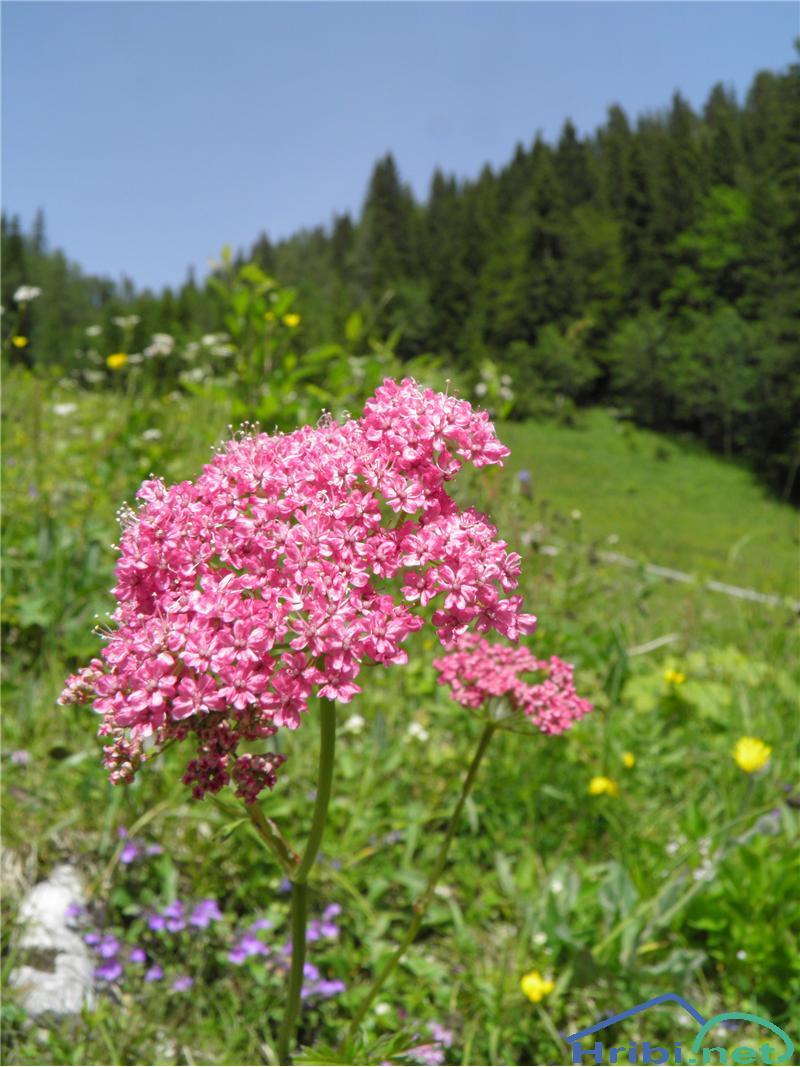 Navadni bedrenec (Pimpinella saxifraga) - PictureNavadni bedrenec (Pimpinella saxifraga), foto Otiv.