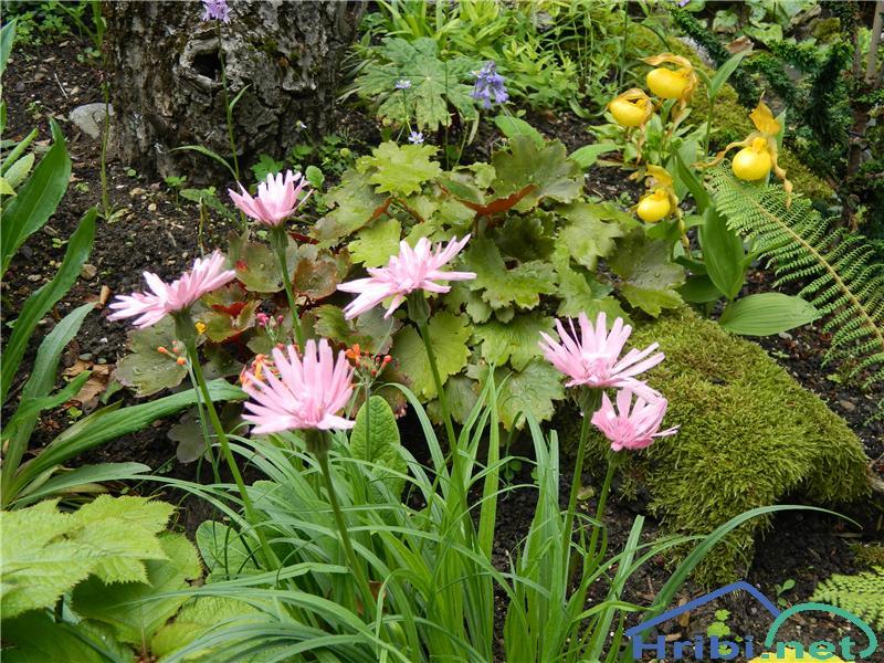 Rožnati kačjak ali rožnati gadnjak (Scorzonera rosea) - PictureRožnati kačjak (Scorzonera rosea), foto Apolonija.