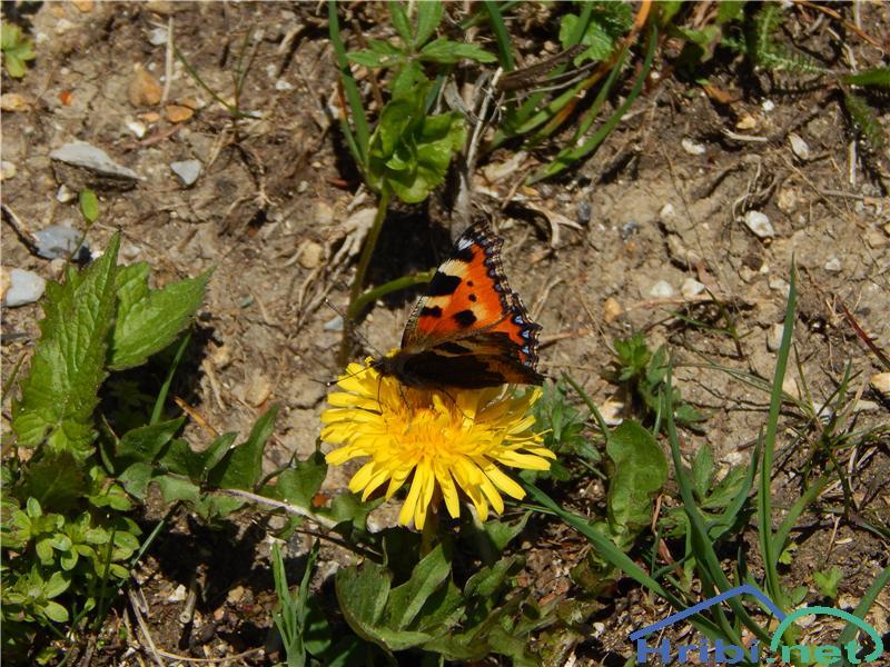 Mali koprivar (Aglais urticae) - SlikaMali koprivar (Aglais urticae)