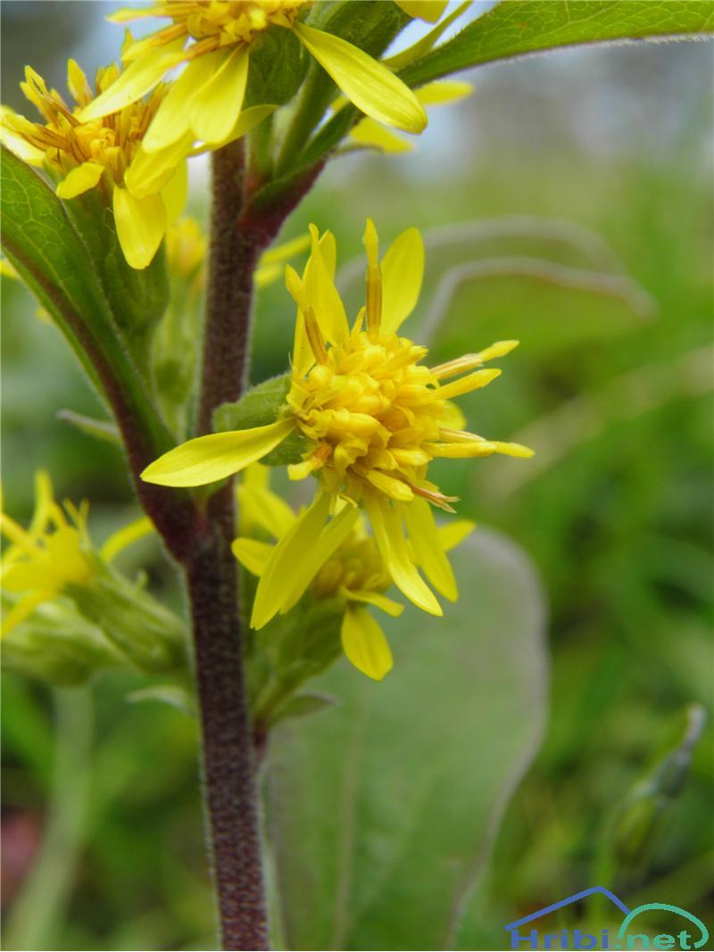Planinska zlata rozga (Solidago virgaurea ssp. minuta) - PicturePlaninska zlata rozga (Solidago virgaurea ssp. minuta), foto Otiv.