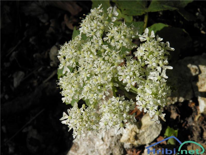 Navadni dežen (Heracleum sphondylium) - PictureNavadni dežen (Heracleum sphondylium), foto Otiv.