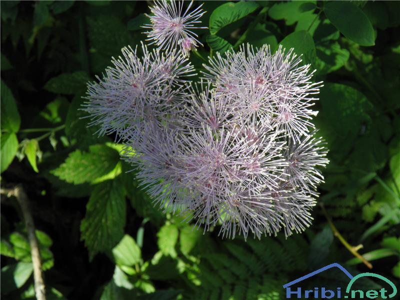 Orličnolistni talin ali vetrovka (Thalictrum aquilegiifolium) - SlikaVetrovka ali talin (Thalictrum aquilegiifolium), foto Otiv.