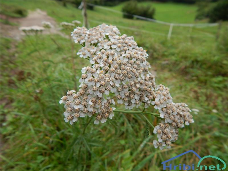 Navadni rman (Achillea millefolium) - SlikaNavadni rman (Achillea millefolium)