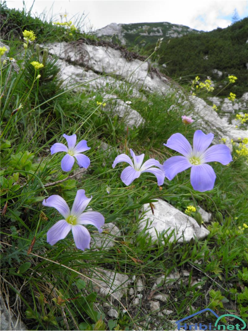 Julijski lan (Linum julicum) - PictureJulijski lan (Linum julicum), foto Otiv.