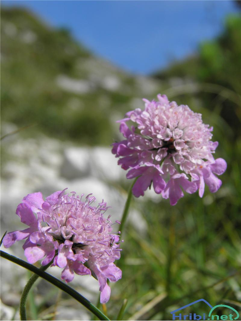 Navadni grintavec (Scabiosa columbaria) - PictureNavadni grintavec (Scabiosa columbaria), foto Otiv.