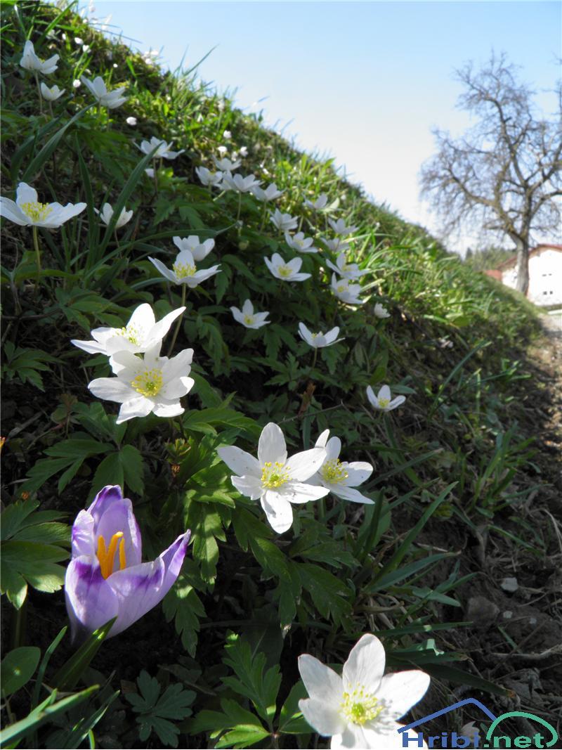 Podlesna vetrnica (Anemone nemorosa) - PicturePodlesna vetrnica (Anemone nemorosa), foto Otiv.