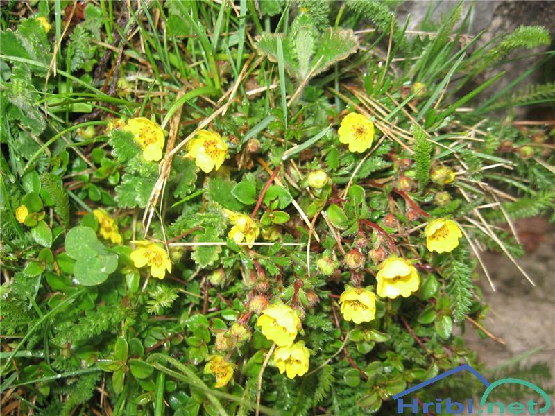 Sedmerolistni petoprstnik (Potentilla heptaphylla) - PictureSedmerolistni petoprstnik (Potentilla heptaphylla)
