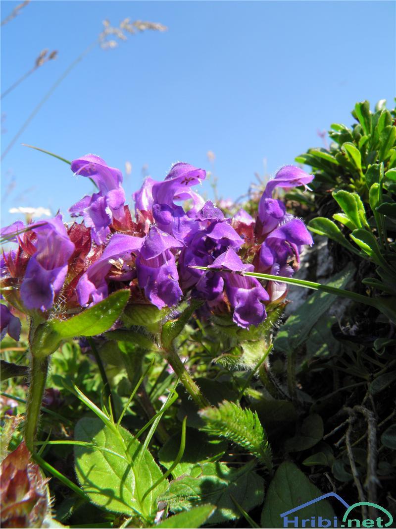Navadna črnoglavka (Prunella vulgaris) - PictureNavadna črnoglavka (Prunella vulgaris), foto Otiv.