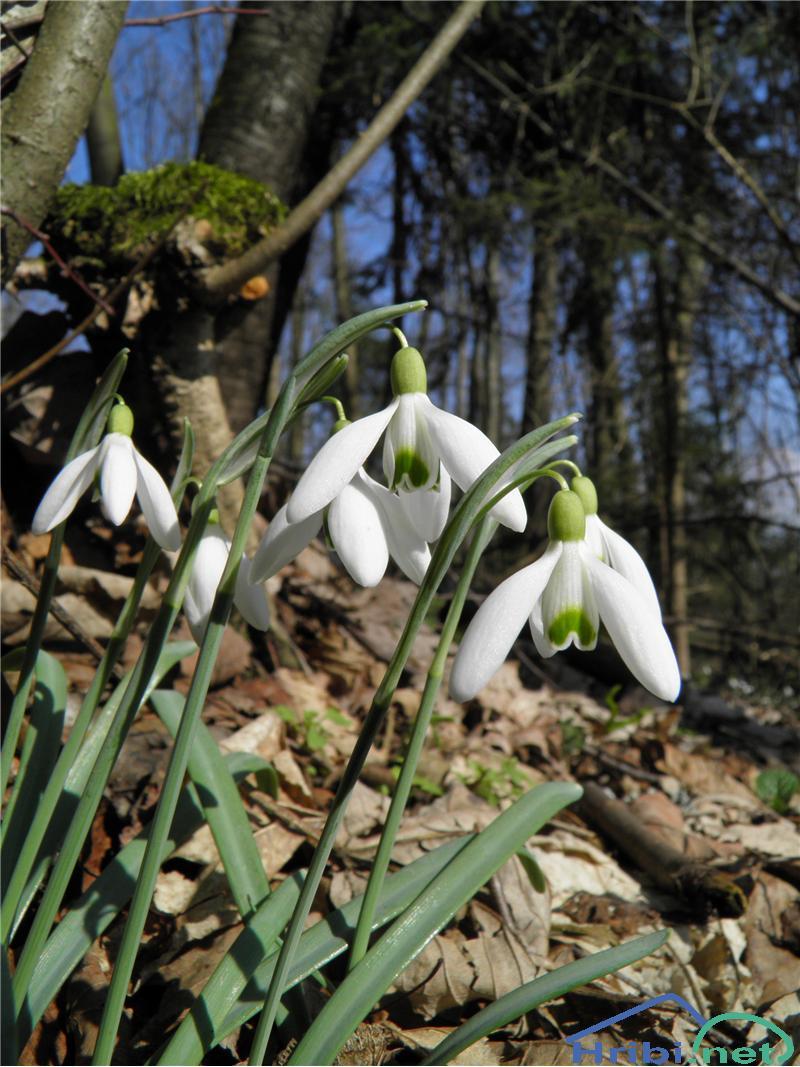 Mali zvonček (Galanthus nivalis) - PictureMali zvonček (Galanthus nivalis), foto Otiv.