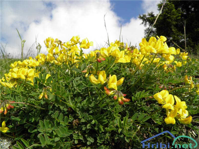 Navadna nokota (Lotus corniculatus) - PictureNavadna nokota (Lotus corniculatus), foto Otiv.