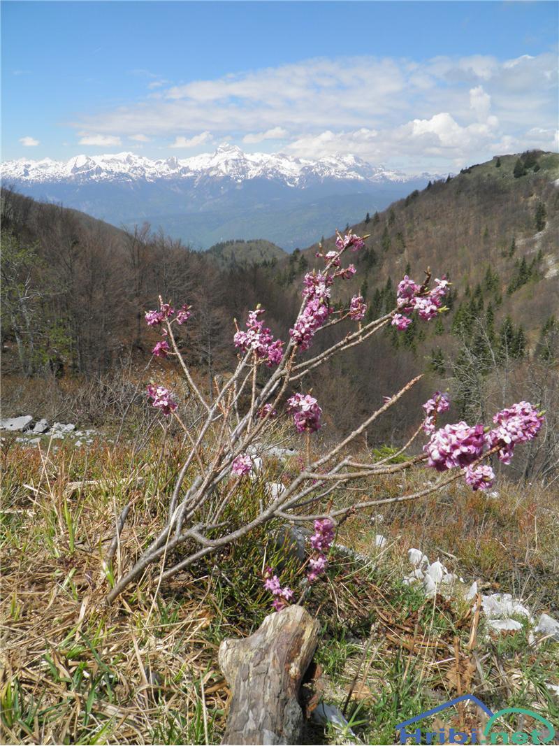 Navadni volčin (Daphne mezereum) - SlikaNavadni volčin (Daphne mezereum), foto Otiv.
