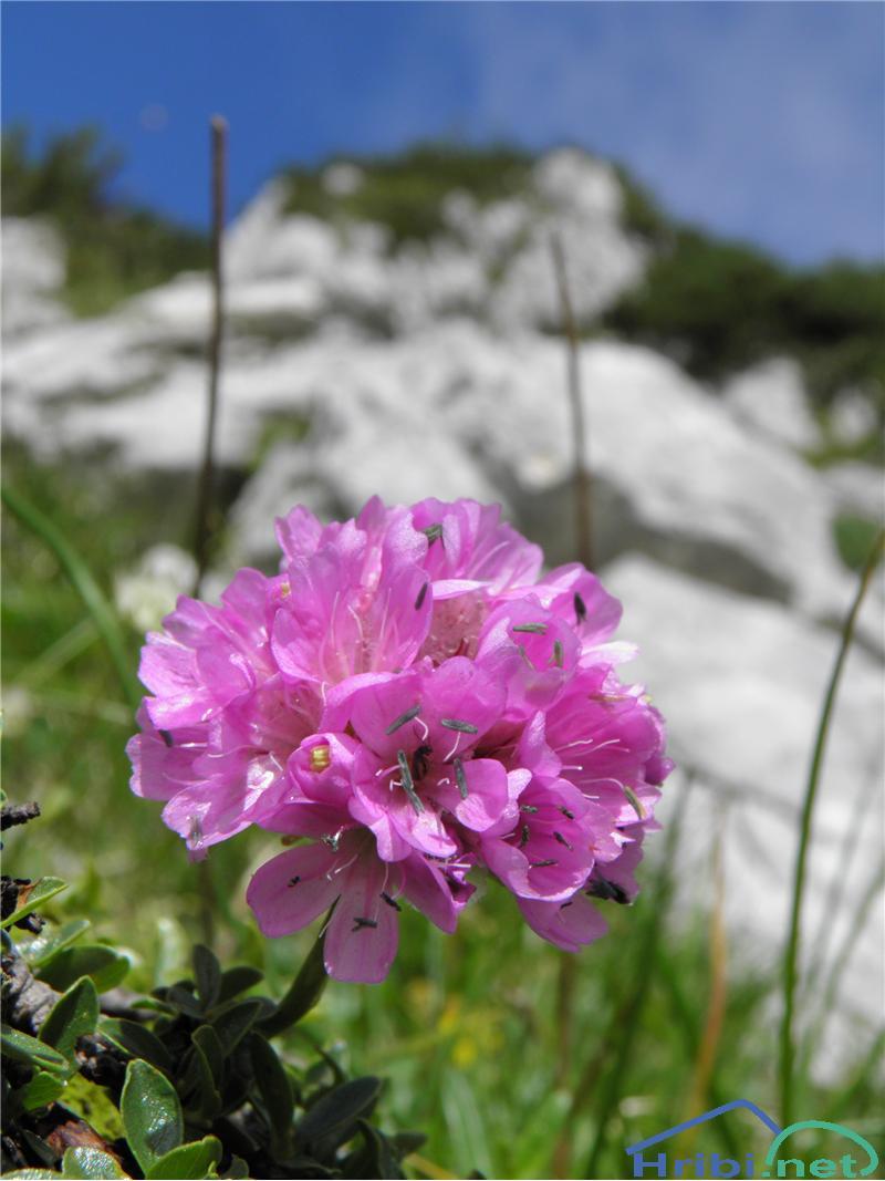 Alpski pečnik (Armeria alpina) - PictureAlpski pečnik (Armeria alpina), foto Otiv.