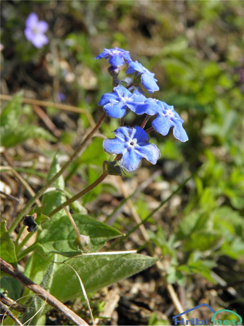 Spomladanska torilnica (Omphalodes verna) - SlikaSpomladanska torilnica (Omphalodes verna), foto Otiv.