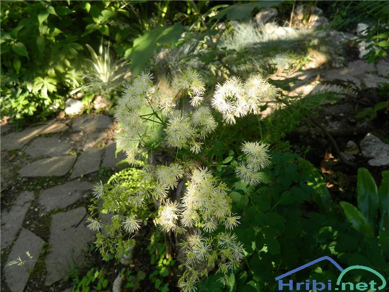 Orličnolistni talin ali vetrovka (Thalictrum aquilegiifolium) - SlikaOrličnolistni talin ali vetrovka (Thalictrum aquilegiifolium), foto Apolonija.