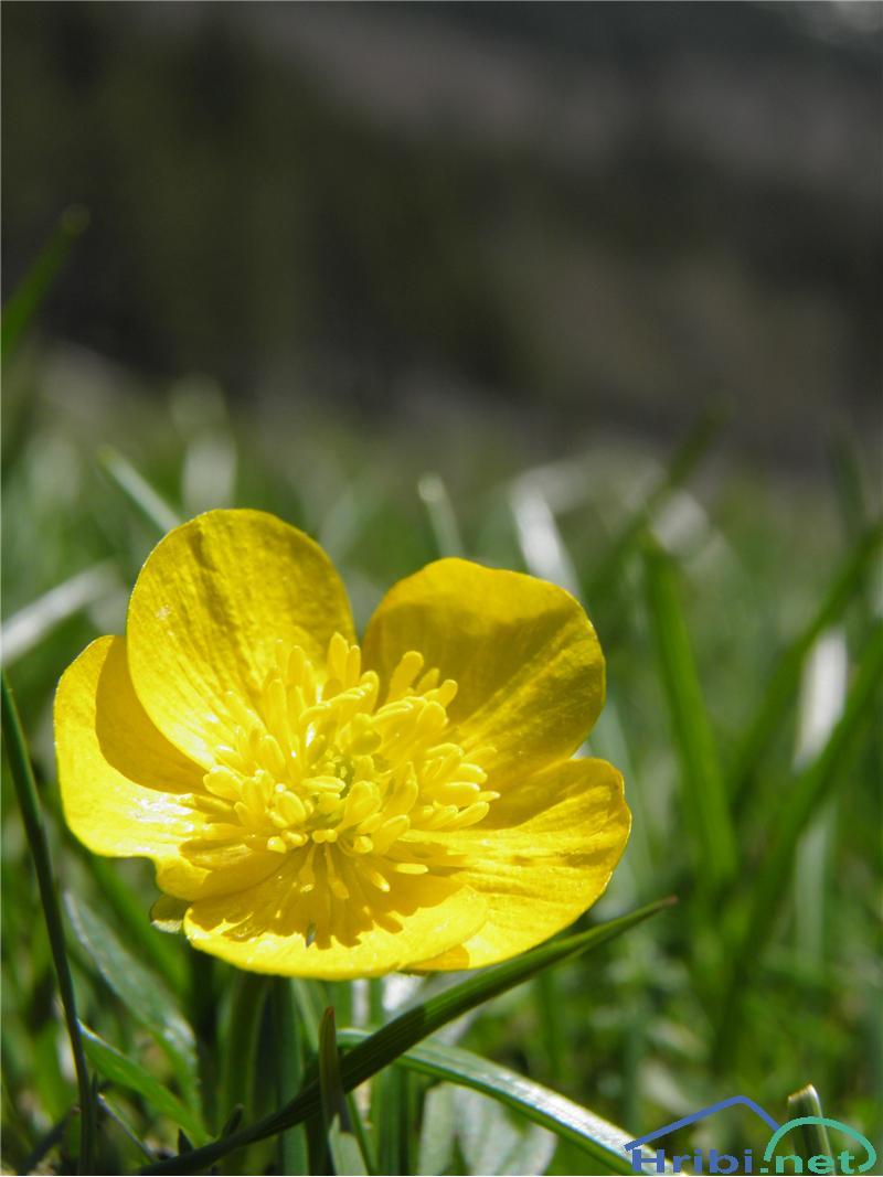 Gorska zlatica (Ranunculus montanus) - SlikaGorska zlatica (Ranunculus montanus), foto Otiv.