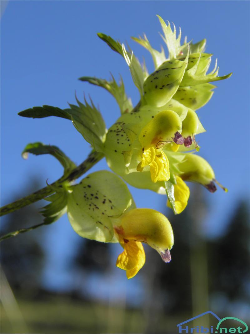 Resasti škrobotec (Rhinanthus glacialis) - SlikaResasti škrobotec (Rhinanthus glacialis), foto Otiv.