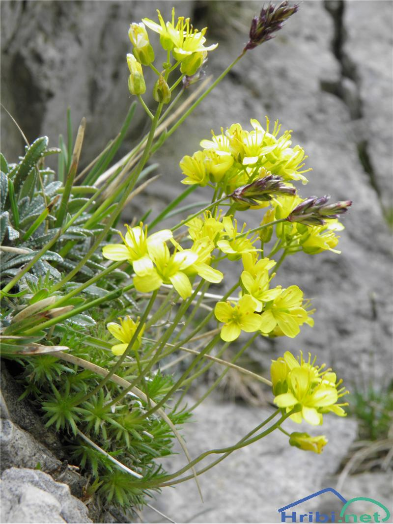 Vednozelena gladnica (Draba aizoides) - PictureVednozelena gladnica (Draba aizoides), foto Otiv.