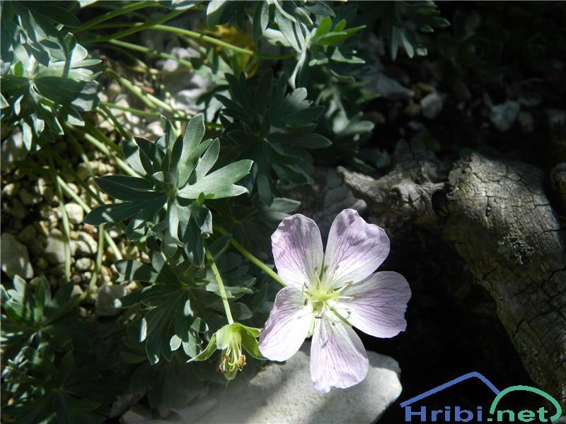 Srebrna krvomočnica (Geranium argenteum) - PictureSrebrna krvomočnica (Geranium argenteum), foto Apolonija.