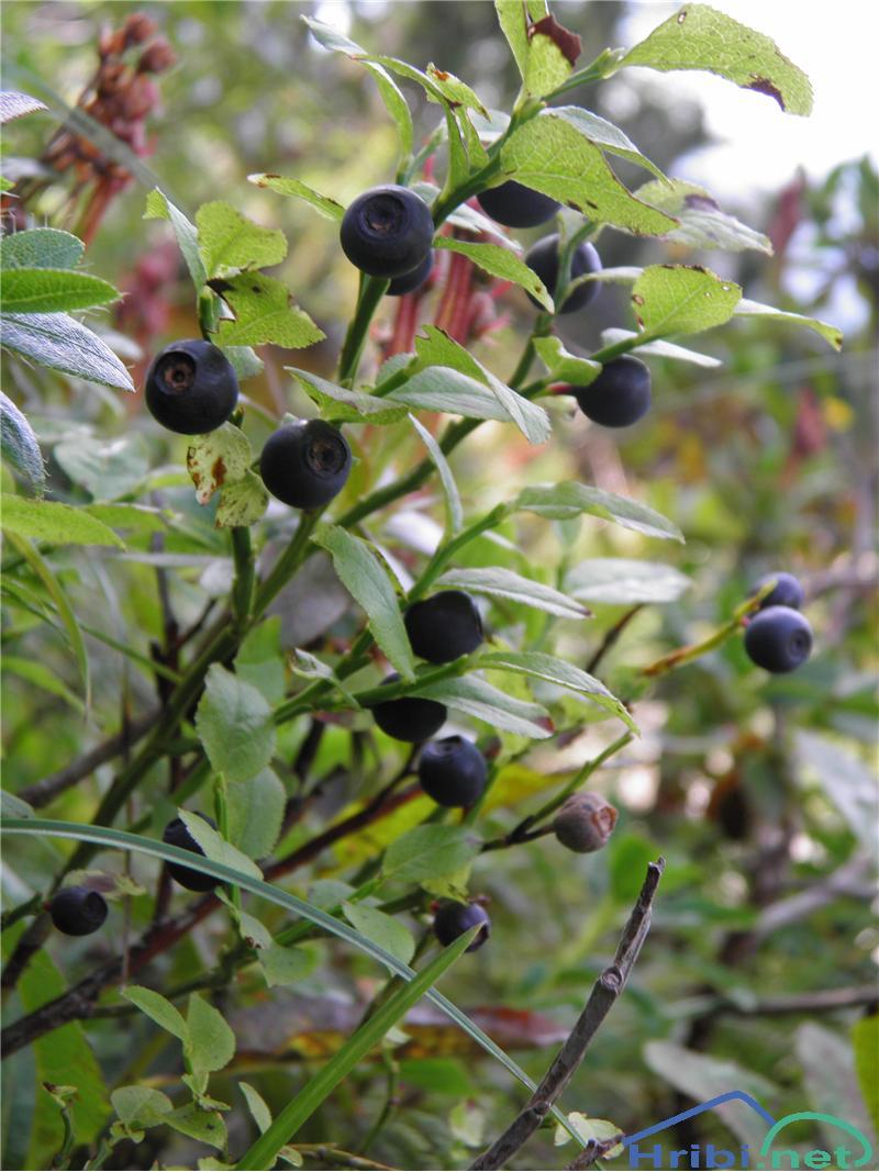 Borovnica (Vaccinium myrtillus) - PictureBorovnica (Vaccinium myrtillus), foto Otiv.