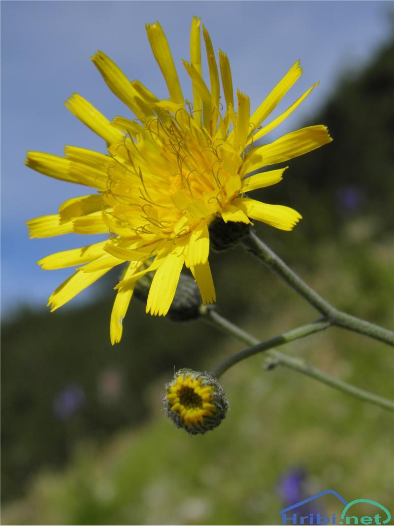 Porovolistna škržolica (Hieracium porrifolium) - SlikaPorovolistna škržolica (Hieracium porrifolium), foto Otiv.