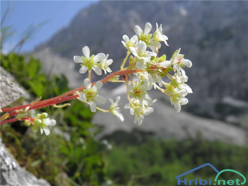 Grozdasti kamnokreč (Saxifraga paniculata) - PictureGrozdasti kamnokreč (Saxifraga paniculata), foto Otiv.