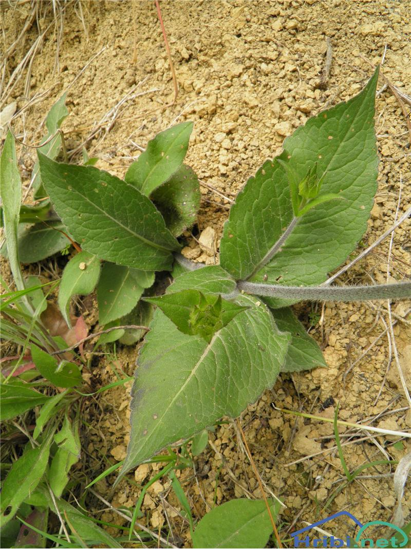 Ogrsko grabljišče (Knautia drymeia) - SlikaOgrsko grabljišče (Knautia drymeia), foto Otiv.