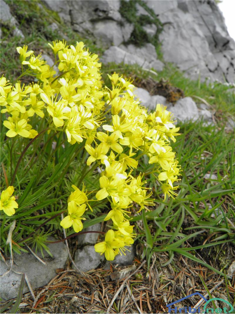 Vednozelena gladnica (Draba aizoides) - SlikaVednozelena gladnica (Draba aizoides), foto Otiv.