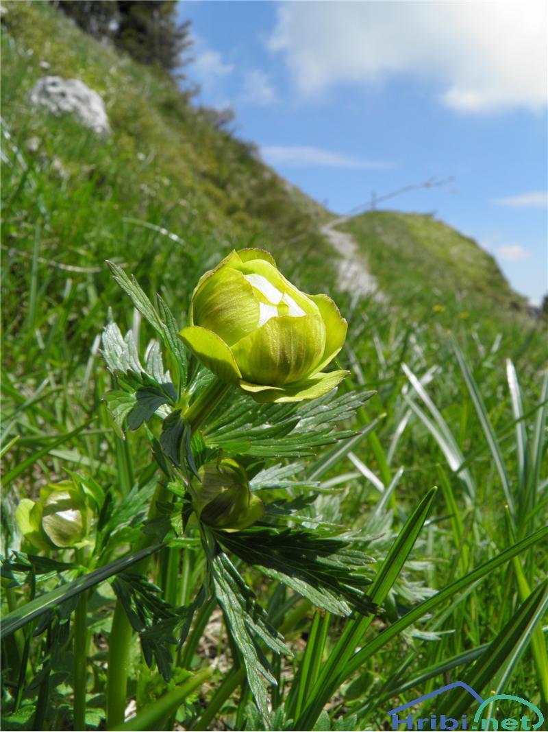 Zlata pogačica (Trollius europaeus) - PictureZlata pogačica (Trollius europaeus), foto Otiv.
