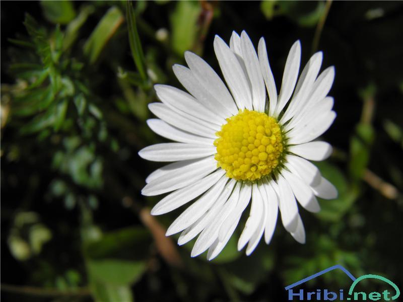 Marjetičasta nebina (Aster bellidiastrum) - SlikaMarjetičasta nebina (Aster bellidiastrum), foto Otiv.