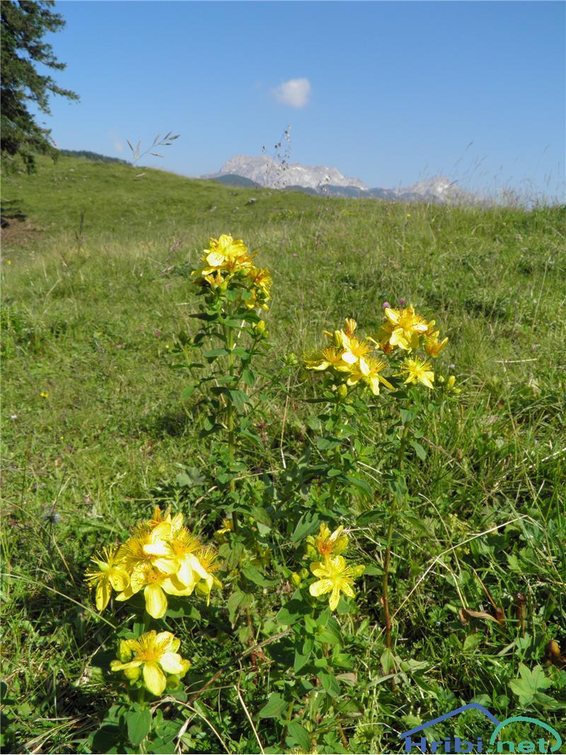 Navadna krčnica ali šentjanževka (Hypericum perforatum) - PictureŠentjanževka (Hypericum perforatum), foto Otiv.