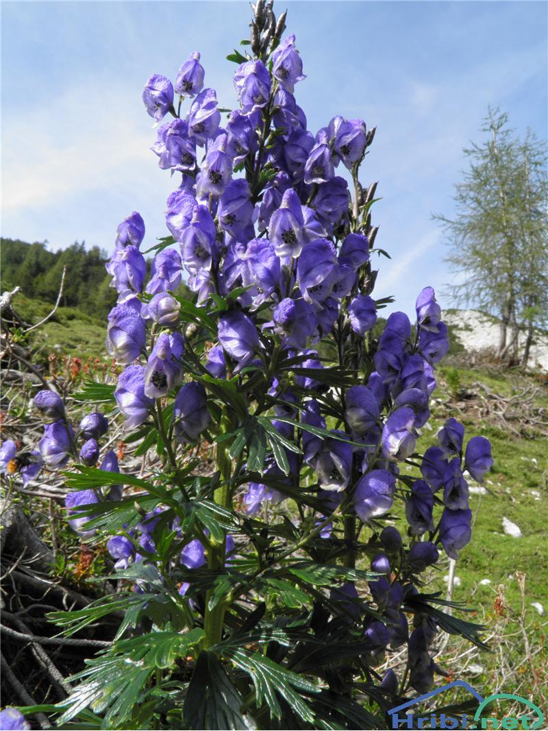 Turska preobjeda (Aconitum tauricum) - SlikaTurska preobjeda (Aconitum tauricum), foto Otiv.