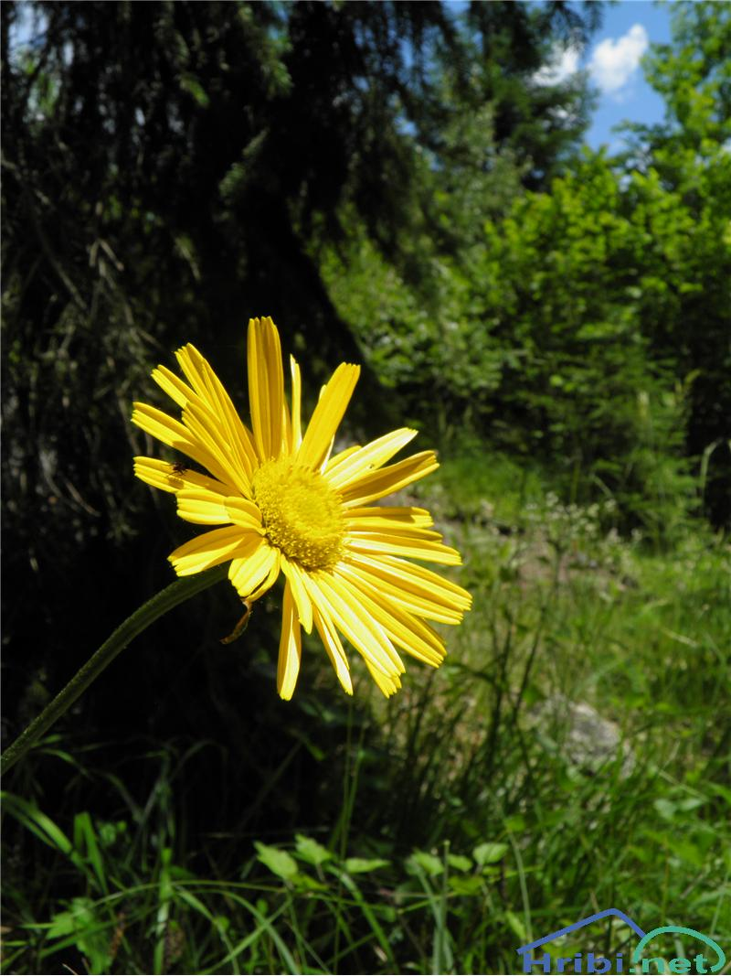 Vrbolistni primožek (Buphthalmum salicifolium) - SlikaVrbolistni primožek (Buphthalmum salicifolium), foto Otiv.