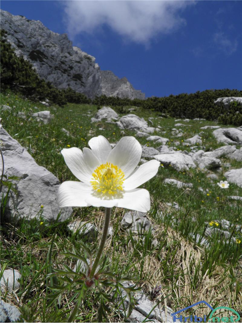 Alpski kosmatinec (Pulsatilla alpina) - PictureAlpski kosmatinec (Pulsatilla alpina), foto Otiv.