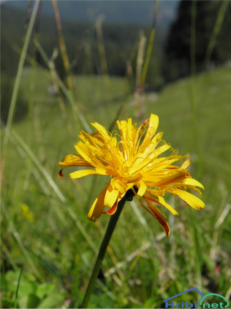 Zlati dimek (Crepis aurea) - PictureZlati dimek (Crepis aurea), foto Otiv.