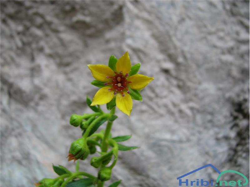Spremenjeni kamnokreč (Saxifraga mutata) - SlikaSpremenjeni kamnokreč (Saxifraga mutata), foto Velkavrh.