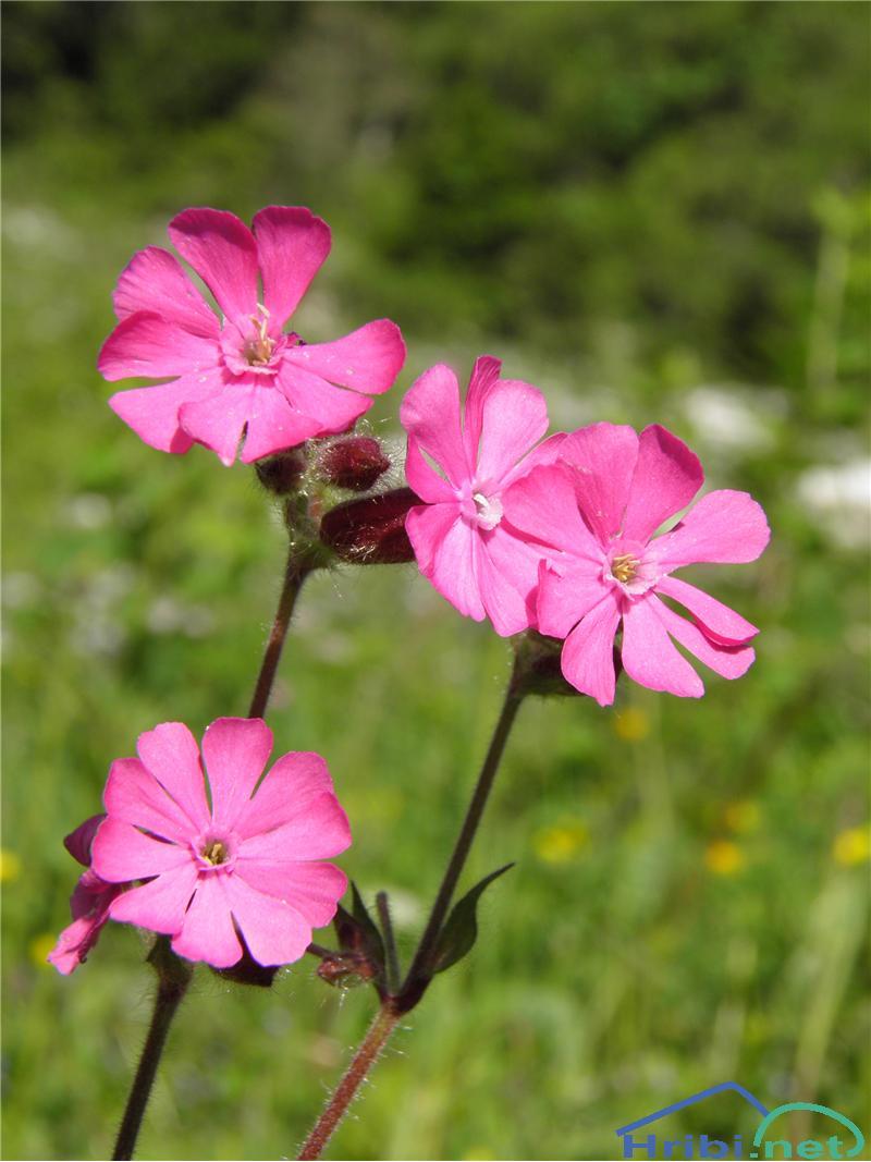 Rdeči slizek (Silene dioica) - PictureRdeči slizek (Silene dioica), foto Otiv.