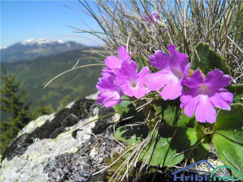 Kuštravi jeglič (Primula villosa) - Picture
