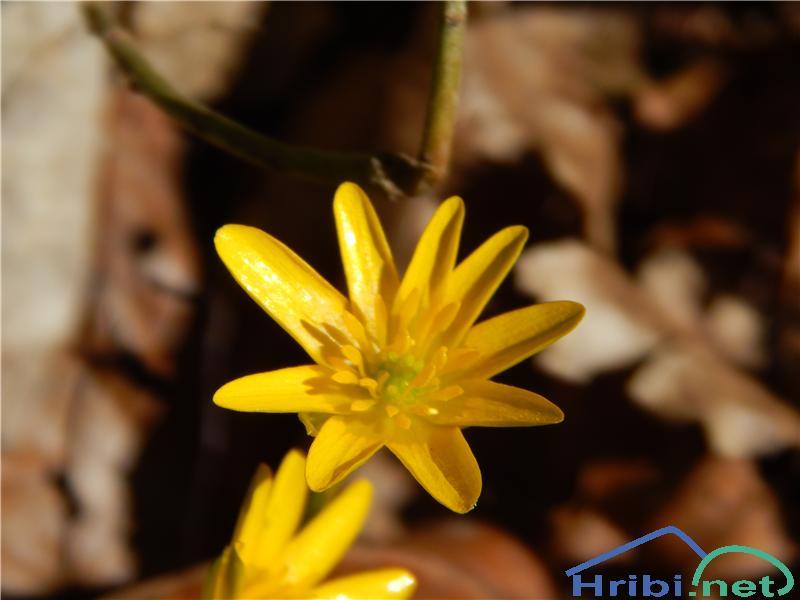 Lopatičasta zlatica (Ranunculus ficaria) - PictureLopatičasta zlatica (Ranunculus ficaria)